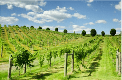 Starting a Vineyard – Bluestone Vineyards